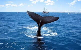 Whale Watching History, Hervey Bay